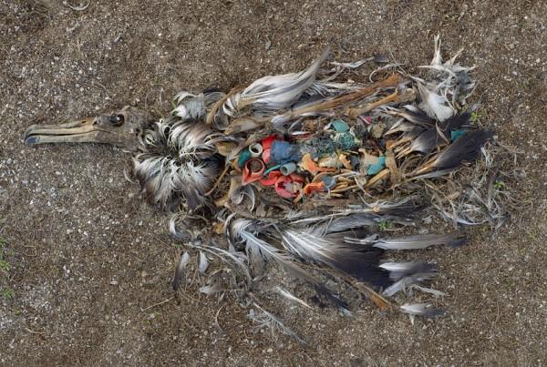 midway island - a dead albatross full of plastic
